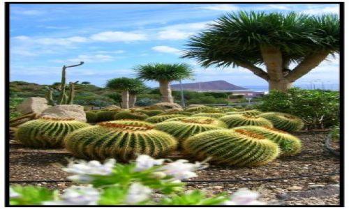 Zdjecie HISZPANIA / brak / Teneryfa / Kuliste kaktusy