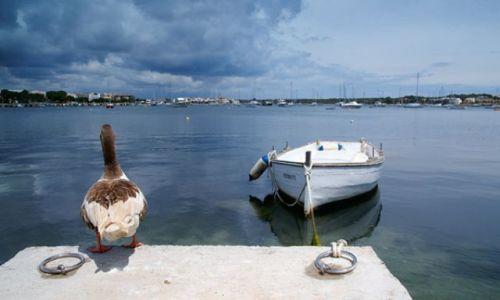 Zdjecie HISZPANIA / Majorca / Porto Colom / Kaczka żeglarz