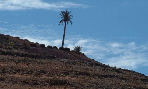 Zdjecie HISZPANIA / Wyspy Kanaryjskie / Lanzarote / Samotna palma