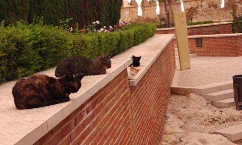 Zdjęcie HISZPANIA / Andaluzja / Almeria / koty bronią twierdzy (alcazaba)