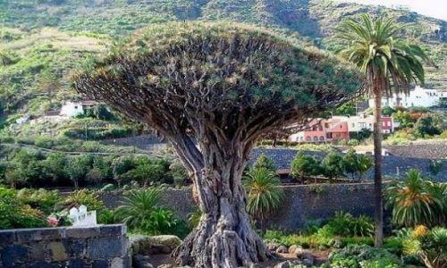 Zdjęcie HISZPANIA / teneryfa / Icod de los Vinos / Smocze drzewo drago