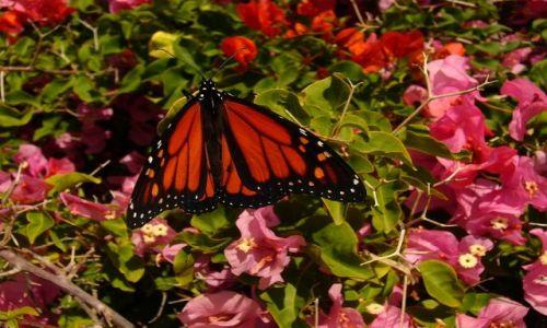 Zdjecie HISZPANIA / Marabella / Ogrod / Jeden z motylkow Hiszpanskich