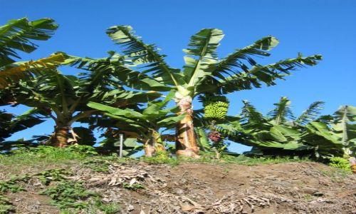 Zdjęcie HISZPANIA / Wyspy Kanaryjskie / Gomera / Kanaryjskie banany