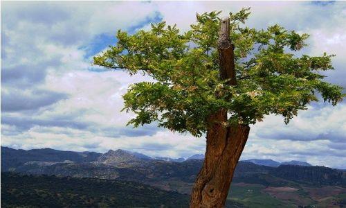 Zdjęcie HISZPANIA / Andaluzja / Ronda / Krajobraz z drzewkiem