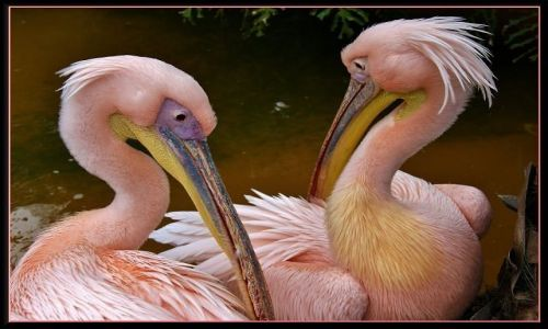HISZPANIA / Wyspy Kanaryjskie / Gran Canaria - Palmitos Park / Różowe