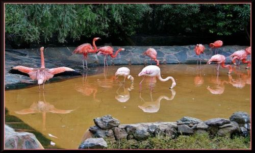 Zdjecie HISZPANIA / Gran Canaria / Palmitos Park / Flamingi