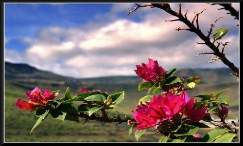 Zdjecie HISZPANIA / Gran Canaria / Gran Canaria / Rośliny Gran Canarii