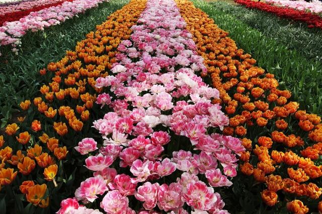 Zdjęcia: Ogrody Keukenhof, Amsterdam, Kwiatowy dywan, HOLANDIA