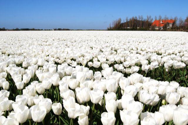 Zdjęcia: Den Helder, Alkmaar, Holandia biała niczym pod śniegiem, HOLANDIA