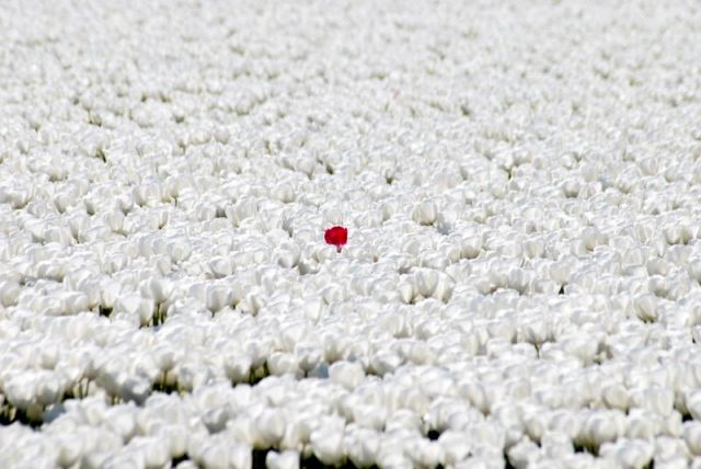Zdjęcia: Den Helder, Alkmaar, Czerwona - czarna tulipanowa - owca, HOLANDIA