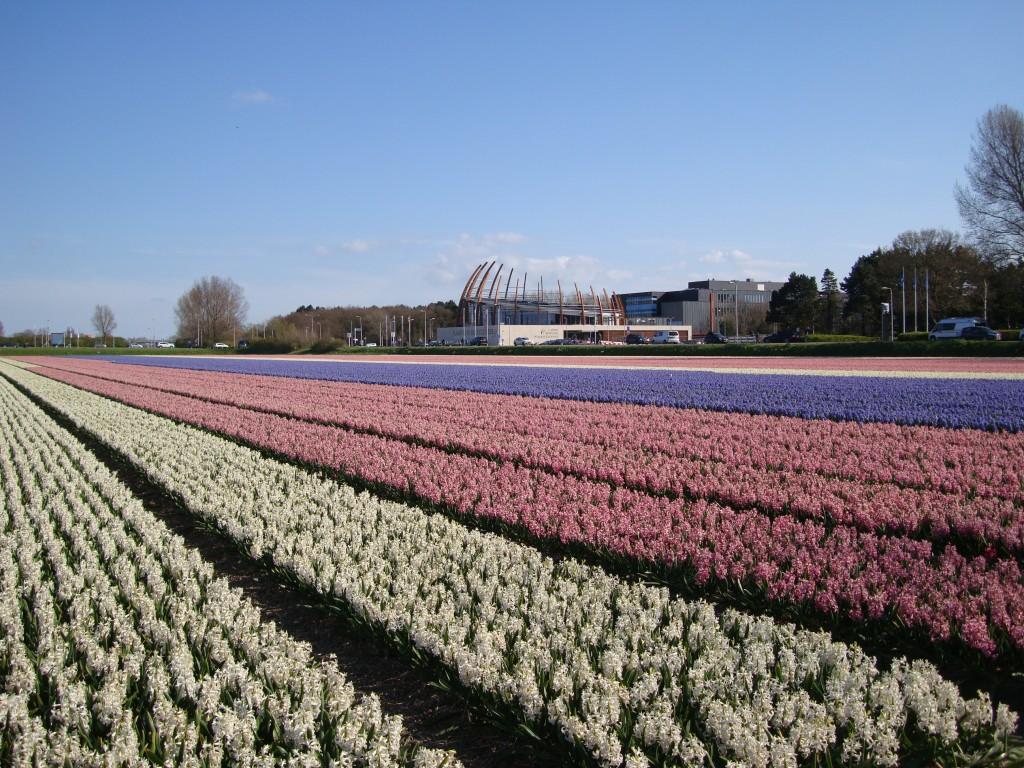 Zdjęcia: Noordwijk, Holandia Południowa, Hiacynty, HOLANDIA