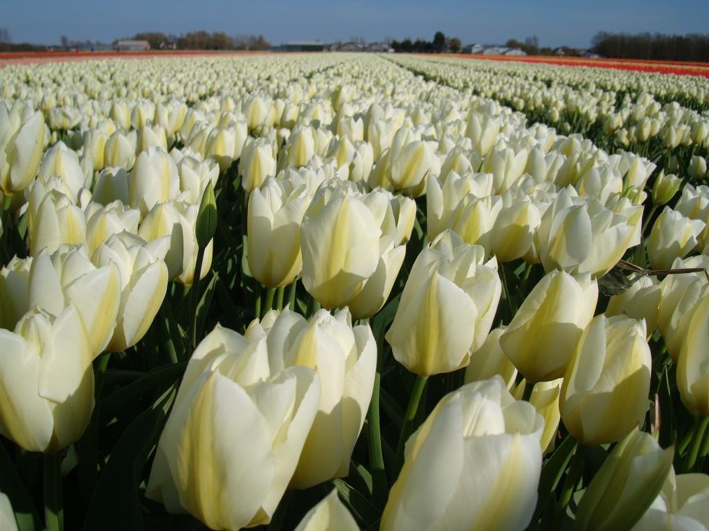 Zdjęcia: Noordwijk, Holandia Południowa, Tulipany, HOLANDIA