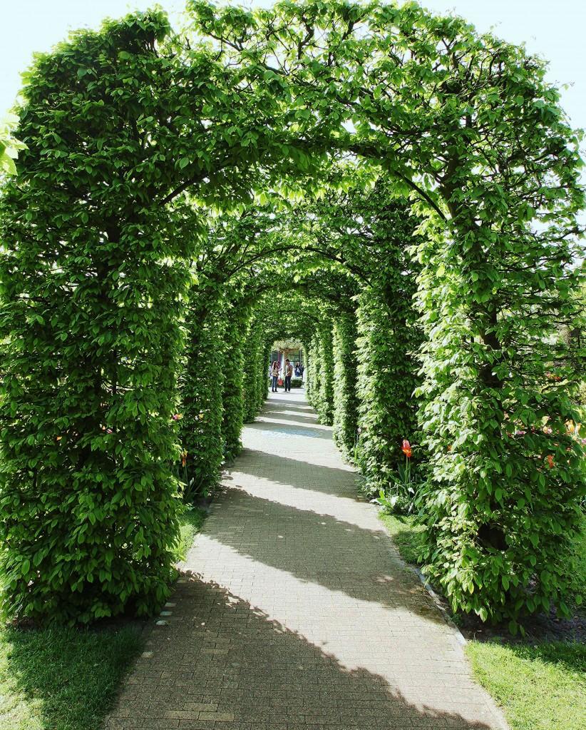 Zdjęcia: Ogrody Keukenhof, Amsterdam, Zielony tunel 2, HOLANDIA