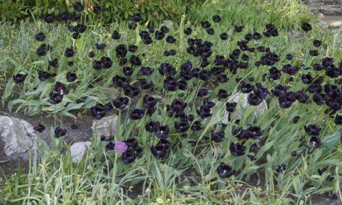 Zdjecie HOLANDIA / - / Holandia / Ogród - tulipany