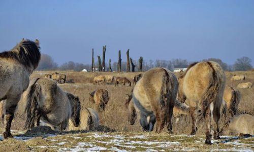 Zdjęcie HOLANDIA / Gelderland / Millingerwaard / Polskie konie w Holandii