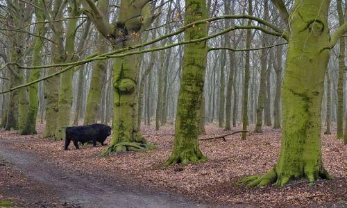 Zdjęcie HOLANDIA / Gelderland / Rheden / Byk w lesie