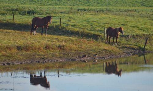 Zdjęcie HOLANDIA / Geldria / Ochten / Konie u wodopoju