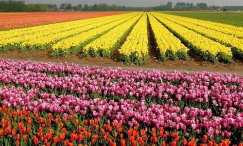 Zdjecie HOLANDIA / Lisse / Keunken Hof / Pachnace kolory