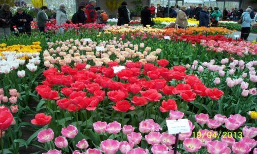 HOLANDIA / - / Pawilon Willem Alexander Keukenhof / Tulipany w rozkwicie
