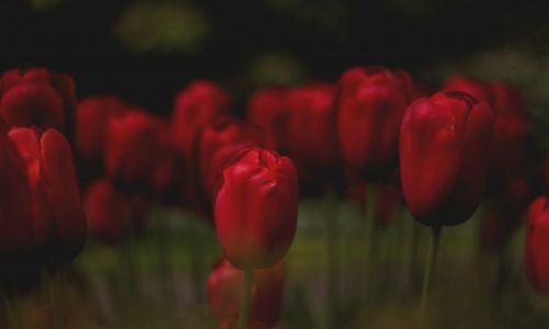 Zdjęcie HOLANDIA / Holandia / Holandia / W świecie tulipanów