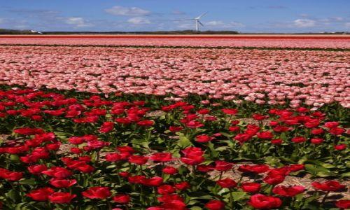 Zdjecie HOLANDIA / Północna Holandia / Callantsoog / Tulipanowe pole
