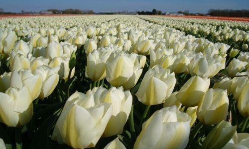 HOLANDIA / Holandia Południowa / Noordwijk / Tulipany