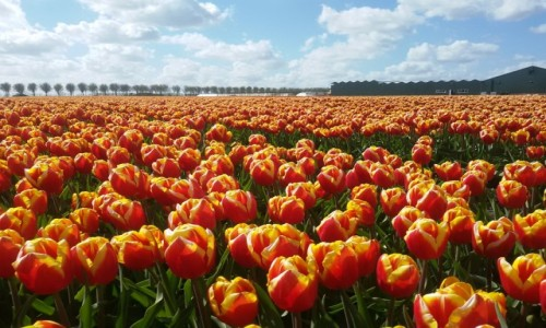 Zdjecie HOLANDIA / Północna Holandia / Okolice Schagen / Tulipany