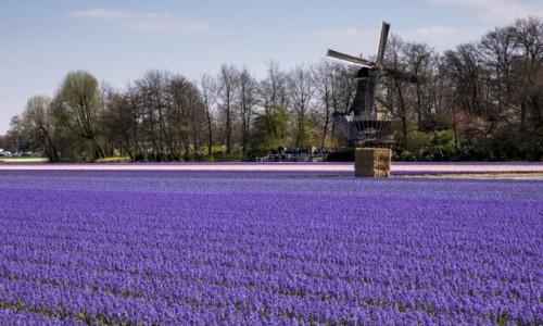 Zdjęcie HOLANDIA / Holandia Południowa / Lisse / Keukenhof