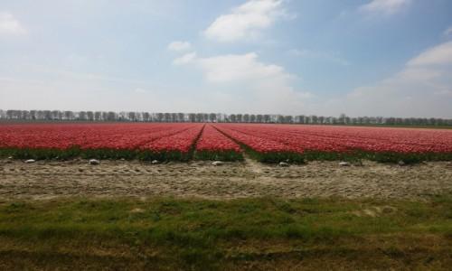 Zdjęcie HOLANDIA / holandia / okolice Amsterdamu  / morze tulipanów