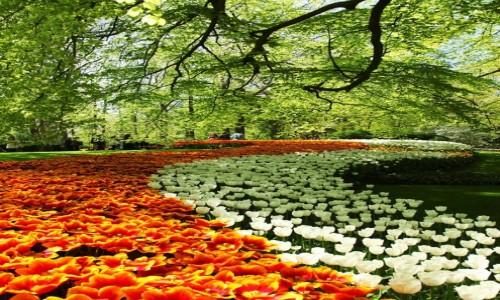 HOLANDIA / Amsterdam / Ogrody Keukenhof / Tulipanowe Ssss