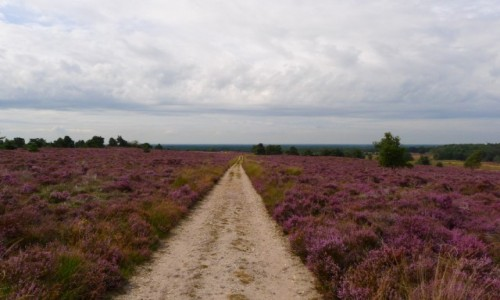 Zdjęcie HOLANDIA / Gelderland / Park Narodowy Hoge Veluwe / Wrzosowiska także i w Holandii