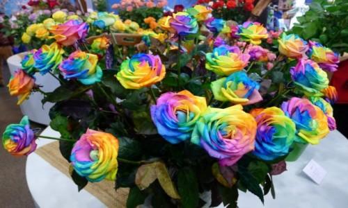 Zdjecie HOLANDIA / Noord Holland / Ogród Keukenhof/ okolice Lisse/ Pawilon kwiatowy Księżnej   Beatrix / Tęczowe róże