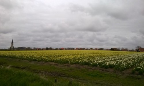 Zdjecie HOLANDIA / Noord Holland/ Wyspy Fryzyjskie  / Gdzieś na Wyspie Texel  / Pole kwiatów
