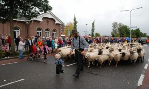 HOLANDIA / Achterhoek/ Wschodnia  Holandia / Winterswijk / Owce ciekawostka