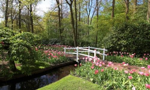 Zdjecie HOLANDIA / Amsterdam / Ogrody Keukenhof  / Biały mostek
