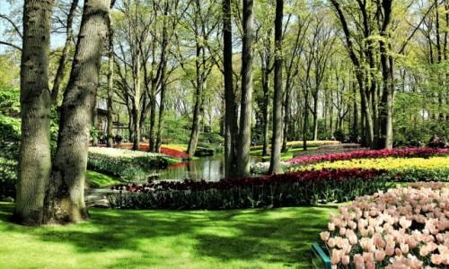 Zdjęcie HOLANDIA / Amsterdam / Ogrody Keukenhof  / Kolorowe kobierce pod drzewami