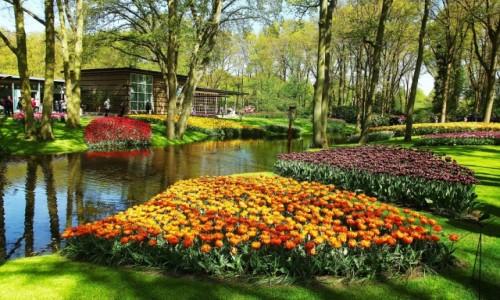 HOLANDIA / Amsterdam  / Ogrody Keukenhof / Tulipanowe kobierce