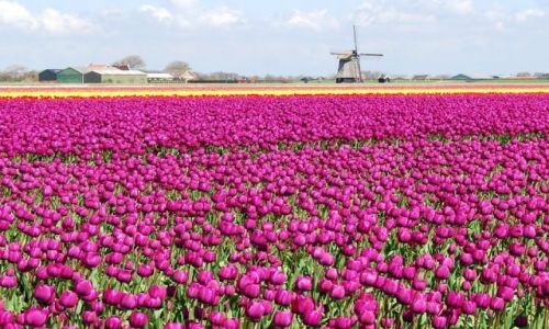 Zdjecie HOLANDIA / Alkmaar / Den Helder / Kraj kwitnacych tulipanów