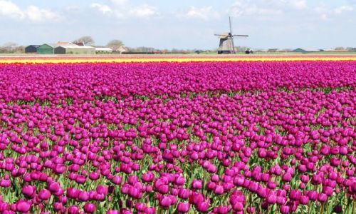 Zdjecie HOLANDIA / Alkmaar / Den Helder / Kraj kwitnacych