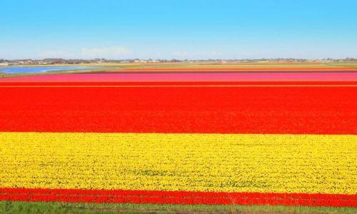 Zdjęcie HOLANDIA / Alkmaar / Den Helder / Kraj kwitnacych tulipanów