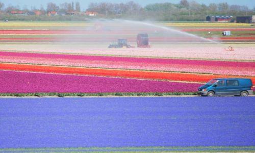 Zdjęcie HOLANDIA / Alkmaar / Den Helder / Bajeczne pola
