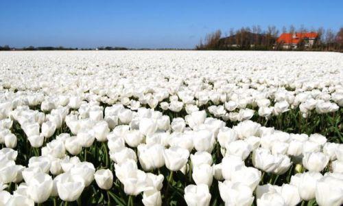 Zdjęcie HOLANDIA / Alkmaar / Den Helder / Holandia biała niczym pod śniegiem