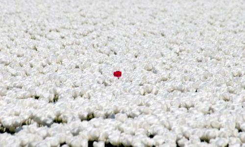 Zdjęcie HOLANDIA / Alkmaar / Den Helder / Czerwona - czarna tulipanowa - owca