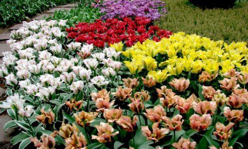 Zdjecie HOLANDIA / okolice Amsterdamu / okolice Amsterdamu / tulipanki
