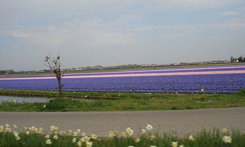 Zdjecie HOLANDIA / okolice Lisse / Keukenhof Park / pola kwiatow