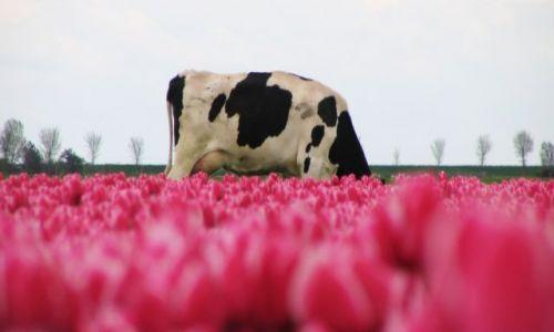 Zdjecie HOLANDIA / brak / Amsterdam / to wszytko dla mnie...? dziękuje pięknie pachną