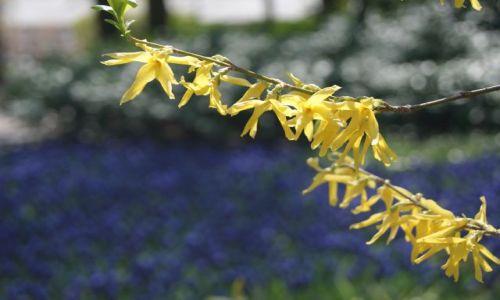 Zdjecie HOLANDIA / zuid holland / Keukenhof / Przyroda - wiosenne kwiaty