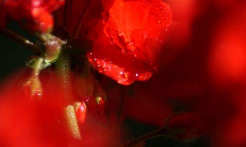 Zdjecie HOLANDIA / - / Holandia / Róża