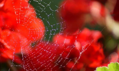 Zdjęcie HOLANDIA / - / Holandia / Róża
