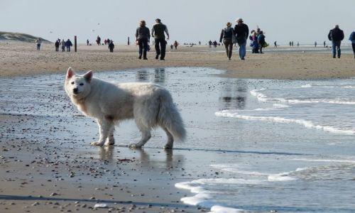 HOLANDIA / Texel / Cocksdorp / Biały wilk po jesiennej kąpieli w morzu